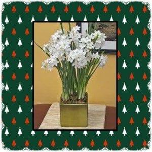 paperwhites in bloom