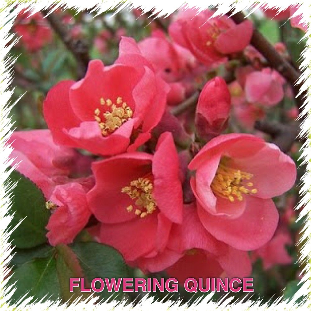 coral flowering quince