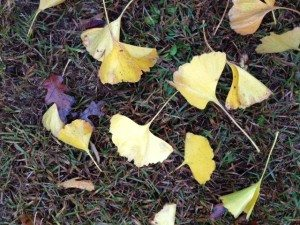 yellow ginkgo leaves falling to the ground
