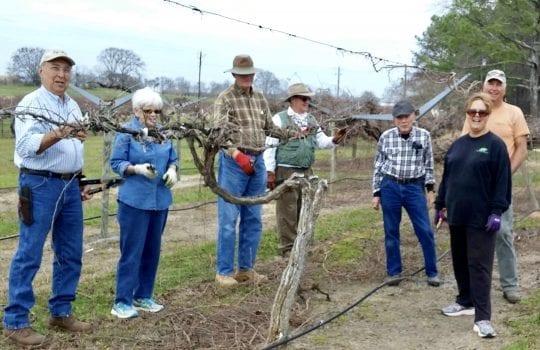 Master Gardeners pruning vines