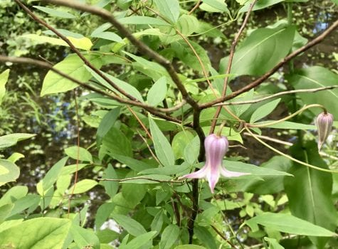 Native clematis with bell shaped lavendar flower