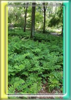 Large fern bed at BBG