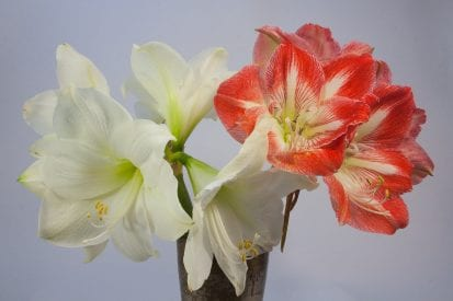 photo of whire and red with white amaryllis blooms in vase