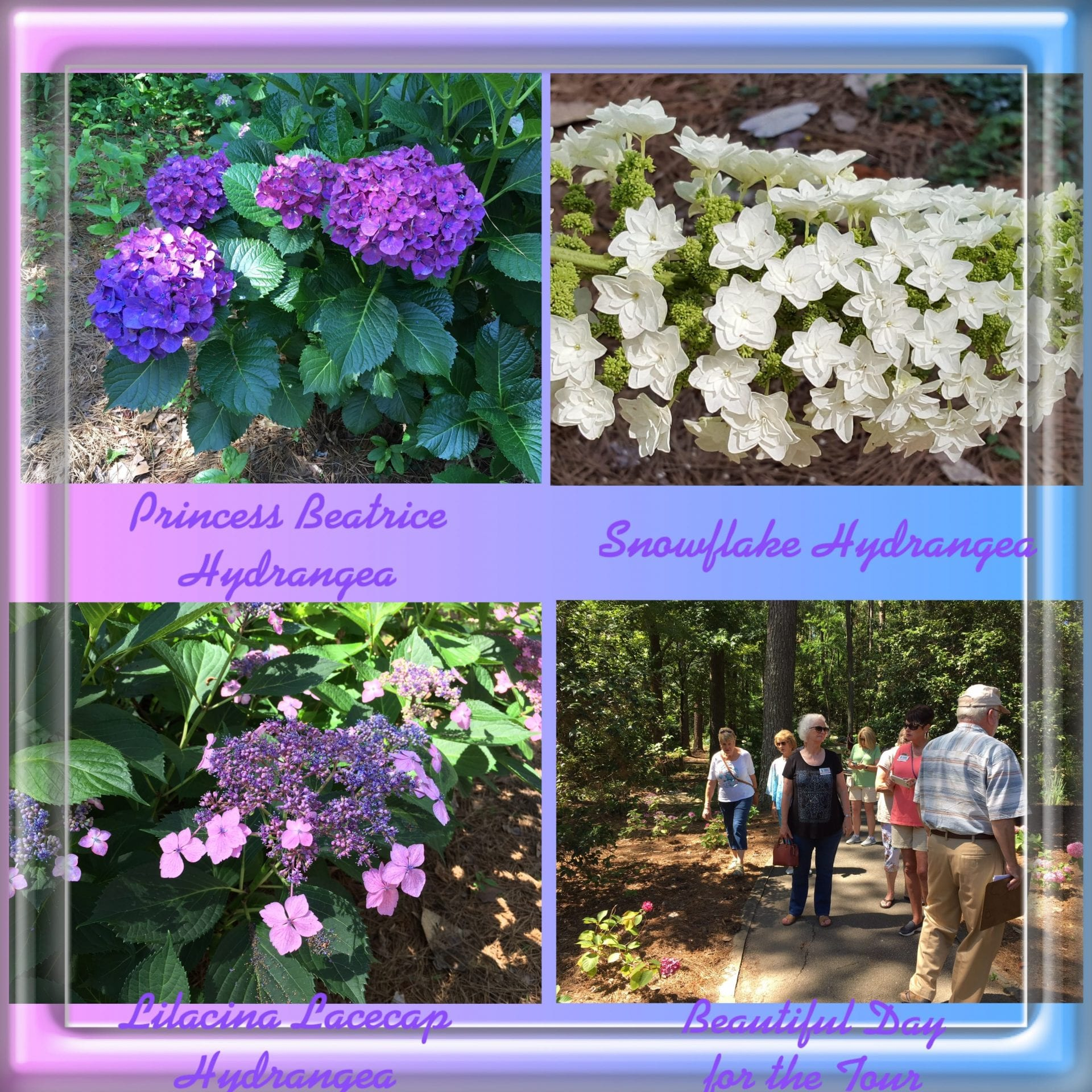 Collage of hydrangea bushes. purple and white