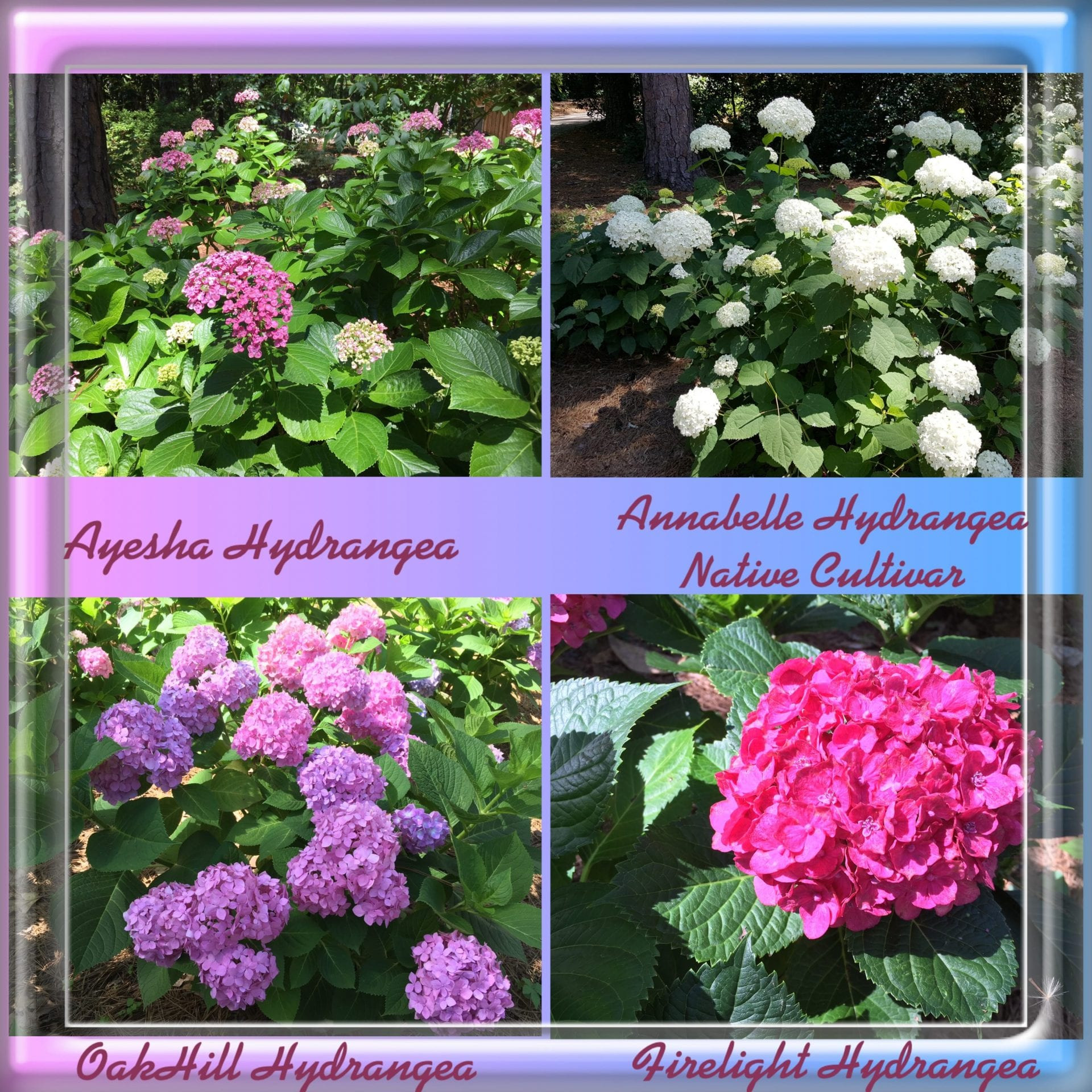 Collage of hydrangea bushes, pink white, lavendar blooms